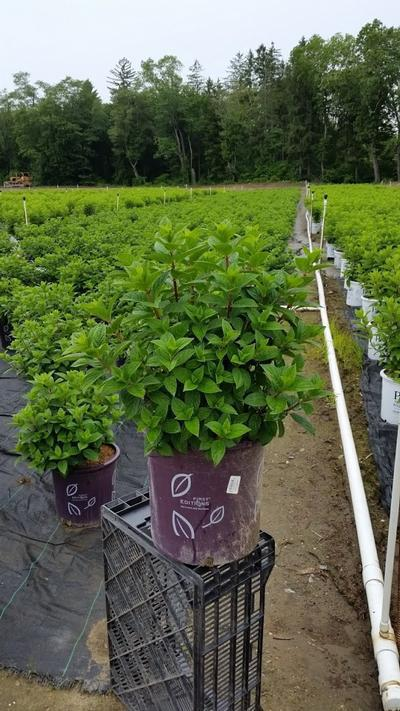 Hydrangea paniculata 'Strawberry Sundae®' - 5 Gal. Crop Shot for 2019-23