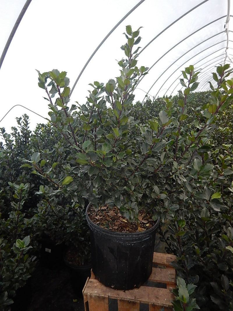 Ilex X meserveae 'Blue Prince' - #3 Crop Shot for 2017-48