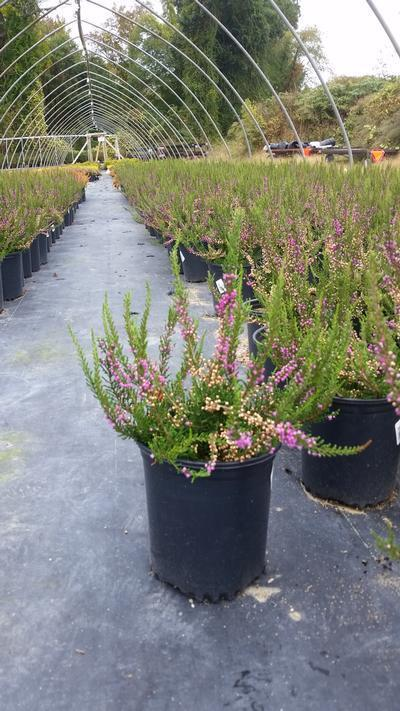 Calluna vulgaris 'Tib' - 1 Gal. Crop Shot for 2019-40