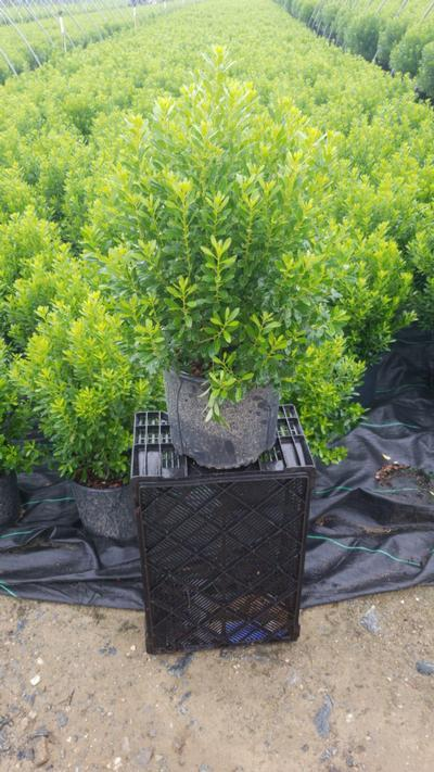 Ilex glabra 'Shamrock' - 3 Gal. Crop Shot for 2020-30