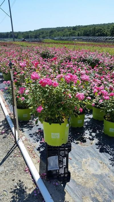 Rosa 'Double Pink Knockout' - 3 Gal. Crop Shot for 2019-34