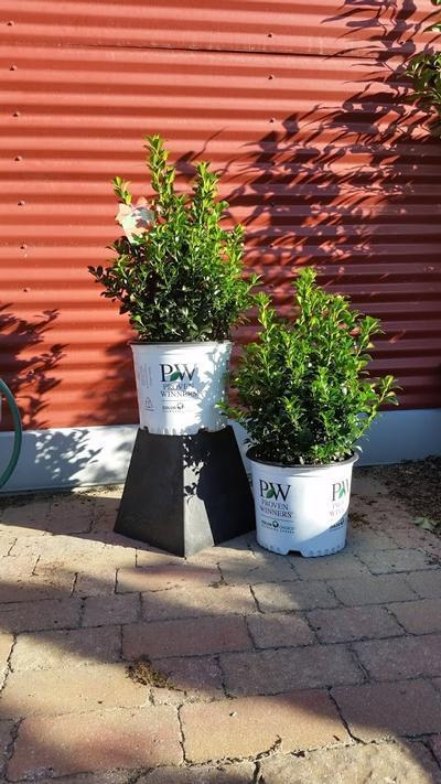 Ilex x Meserveae 'Castle Spire® ' - 3 Gal. Crop Shot for 2019-38