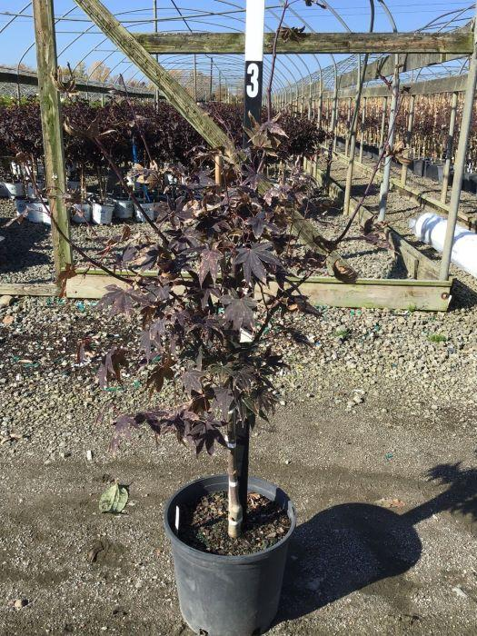 Acer palmatum 'Bloodgood' - 3 Gal. Crop Shot for 2020-43