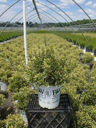 Rhododendron (azalea) 'Bollywood Star™' - 2 Gal. Crop Shot for 2020-28