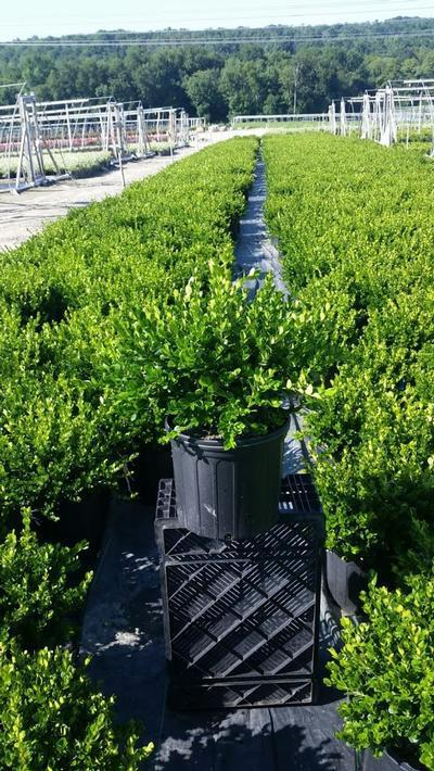 Buxus microphylla 'Winter Gem' - 3 Gal. Crop Shot for 2019-32