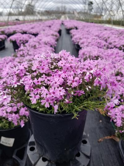 Phlox subulata 'Fort Hill' - 1 Gal. Crop Shot for 2020-18