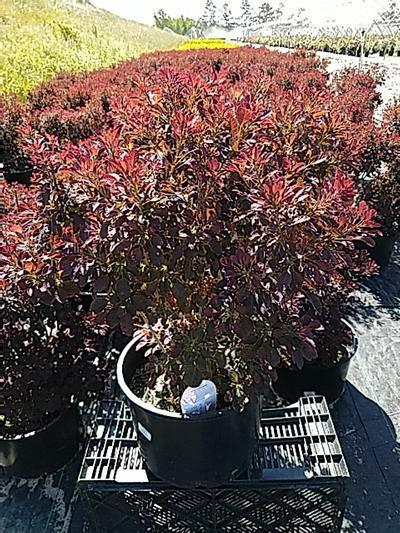 Cotinus coggygria 'Velveteeny™' - 5 Gal. Crop Shot for 2020-23