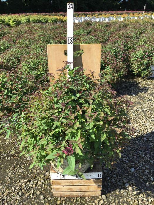 Spiraea japonica 'Double Play Red' - 3 Gal. Crop Shot for 2020-31