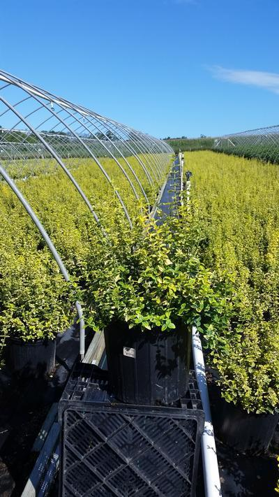 Euonymus fortunei 'Emerald N Gold' - 3 Gal. Crop Shot for 2019-34
