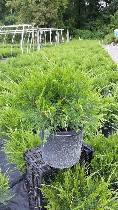 Juniperus chinensis 'Sea Green' - 3 Gal. Crop Shot for 2019-37