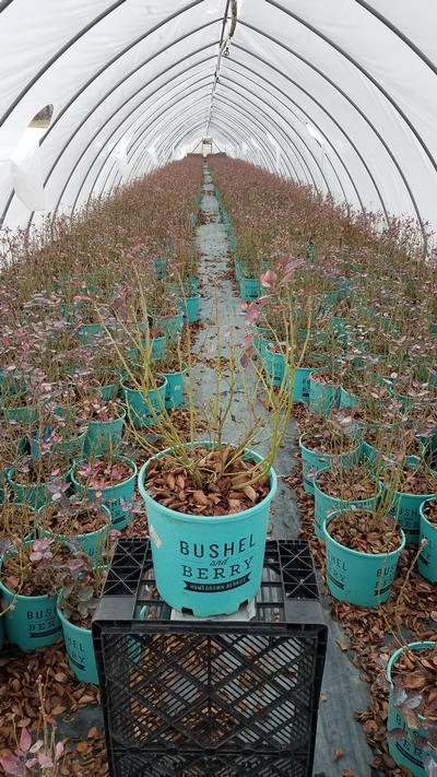 Vaccinium x 'Peach Sorbet' - 2 Gal. Crop Shot for 2020-12