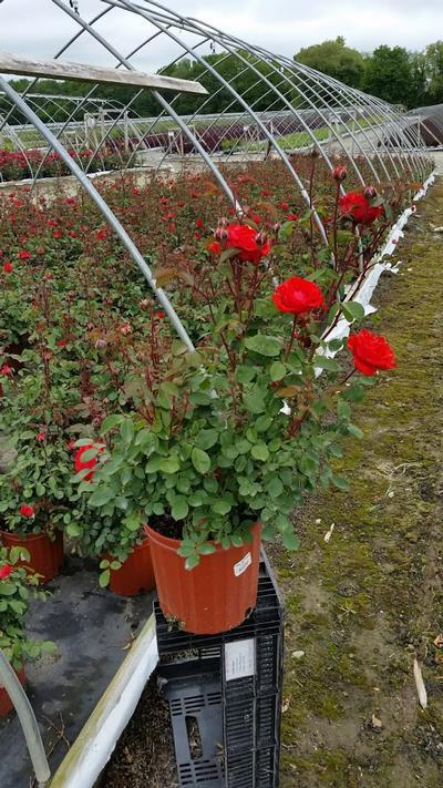 Rosa True Passion™ Rose - 2 Gal. Crop Shot for 2019-21