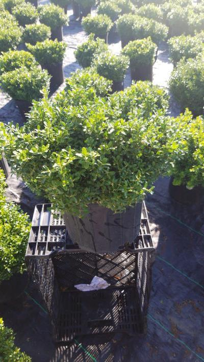 Buxus microphylla 'Tide Hill' - 3 Gal. Crop Shot for 2020-36