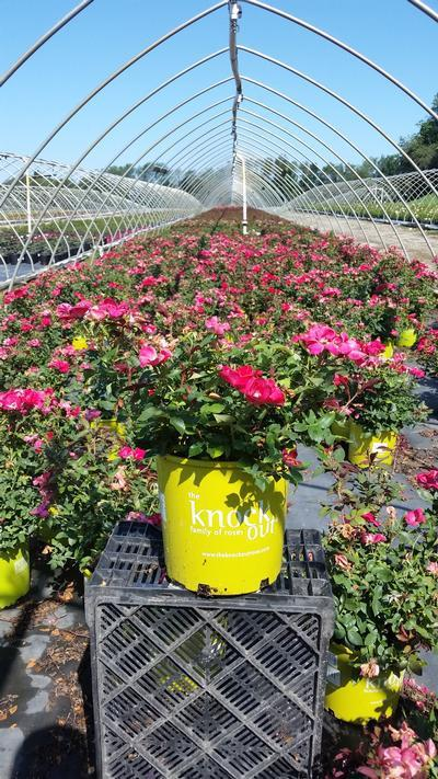 Rosa Knockout - 3 Gal. Crop Shot for 2019-30