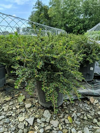 Cotoneaster adpressus 'Little Gem' - 2 Gal. Crop Shot for 2020-31