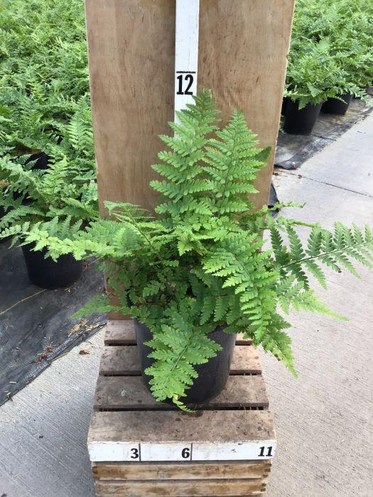 Dryopteris complexa 'Robust' - 8 Inch Crop Shot for 2020-38