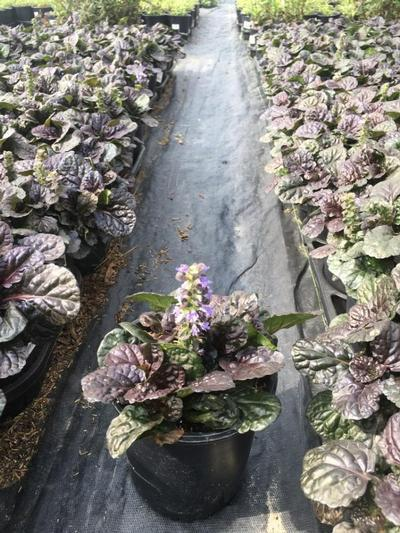 Ajuga reptans 'Black Scallop' - 1 Gal. Crop Shot for 2019-30
