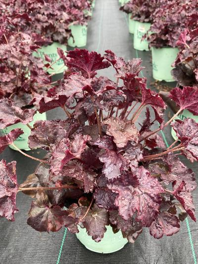 Heuchera 'Obsidian' - 8 In. Crop Shot for 2020-17