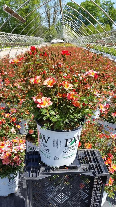 Rosa 'Oso Easy® Hot Paprika™' - 2 Gal. Crop Shot for 2019-20