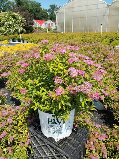 Spiraea Double Play 'Painted Lady' - 3 Gal. Crop Shot for 2019-30