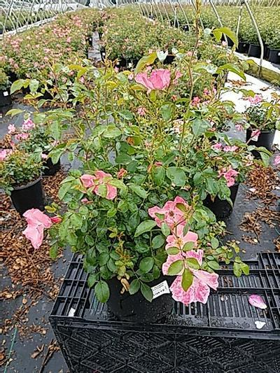 Rosa FLOWER CARPET® 'Coral' - 2 Gal. Crop Shot for 2020-22