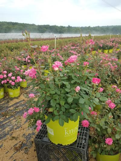 Rosa 'Double Pink Knockout' - 3 Gal. Crop Shot for 2019-27