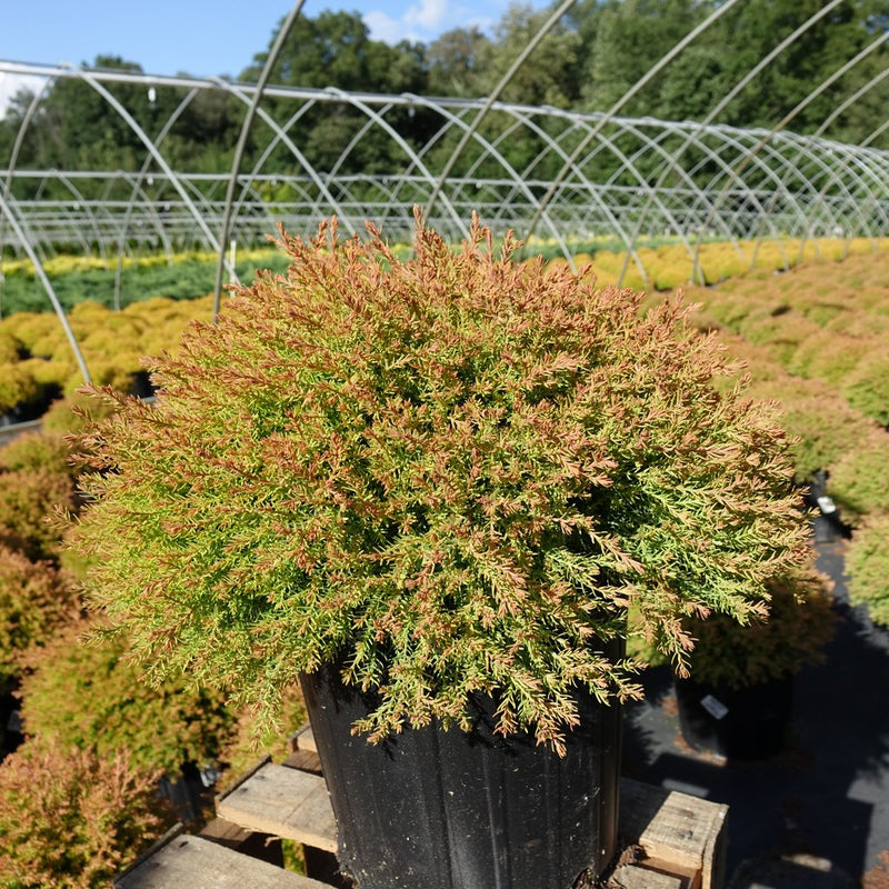 Thuja occidentalis 'Fire Chief' - #2 Crop Shot for 2017-37