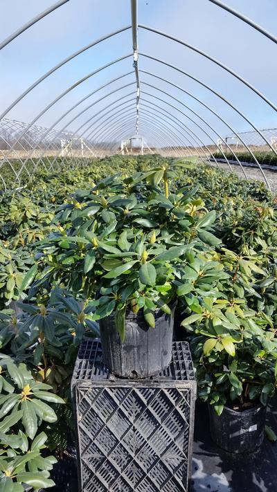 Rhododendron catawbiense 'English Roseum' - 3 Gal. Crop Shot for 2019-14