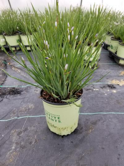 Sisyrinchium angustifolium 'Lucerne' - 1 Gal. Crop Shot for 2020-19