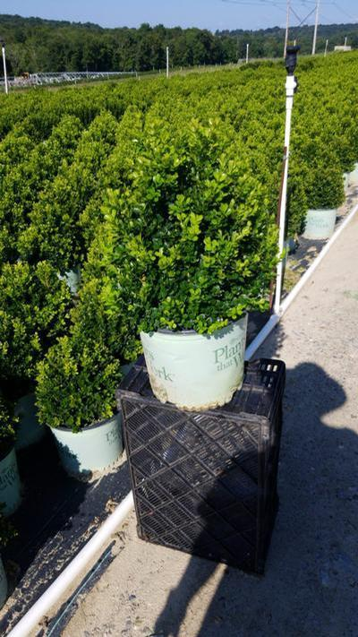 Buxus x 'Cranberry Creek' - 3 Gal. Crop Shot for 2020-36
