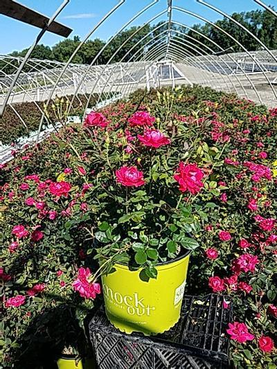 Rosa 'Double Knockout' - 3 Gal. Crop Shot for 2020-26