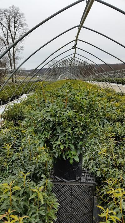 Kalmia latifolia 'Carousel' - 5 Gal. Crop Shot for 2019-14