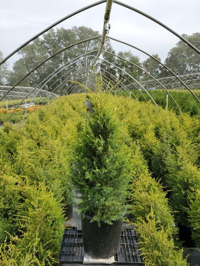Juniperus communis 'Gold Cone' - 2 Gal. Crop Shot for 2020-38