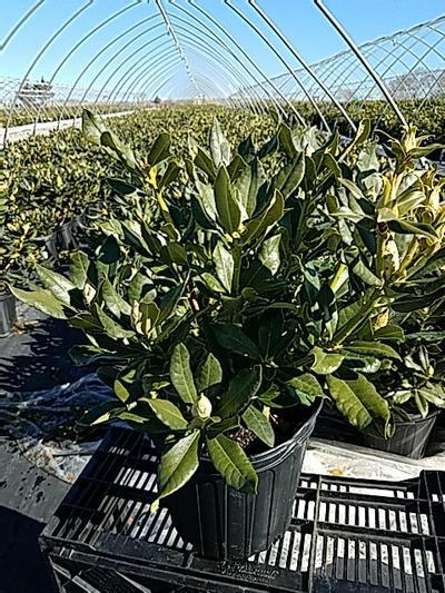 Rhododendron catawbiense 'Nova Zembla' - 2 Gal. Crop Shot for 2020-17