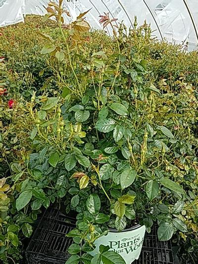 Rosa Red Streamer - Climber NEW - 3 Gal. Crop Shot for 2020-22