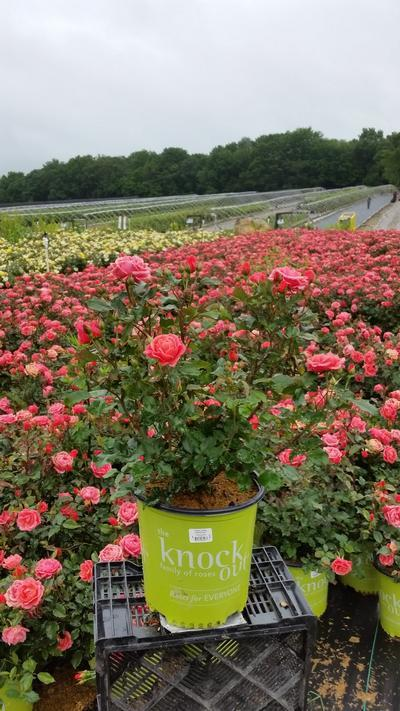 Rosa 'Coral Knock Out®' - 2 Gal. Crop Shot for 2019-24
