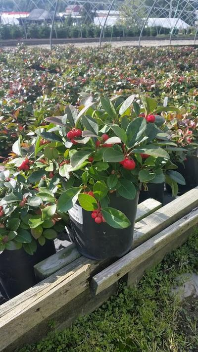 Gaultheria procumbens - 1 Gal. Crop Shot for 2019-37