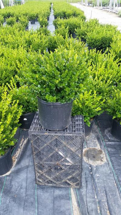 Buxus microphylla 'Winter Gem' - 3 Gal. Crop Shot for 2019-35
