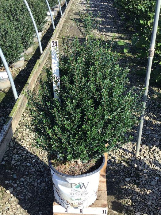 Ilex crenata 'Patti O' - 3 Gal. Crop Shot for 2020-40