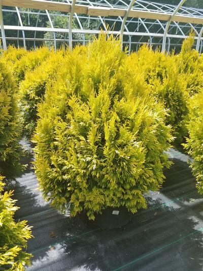 Thuja plicata '4Ever Goldy' - 5 Gal. Crop Shot for 2019-23