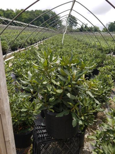 Rhododendron catawbiense 'Nova Zembla' - 5 Gal. Crop Shot for 2020-27