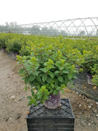 Hydrangea paniculata 'Strawberry Sundae®' - 5 Gal. Crop Shot for 2019-25