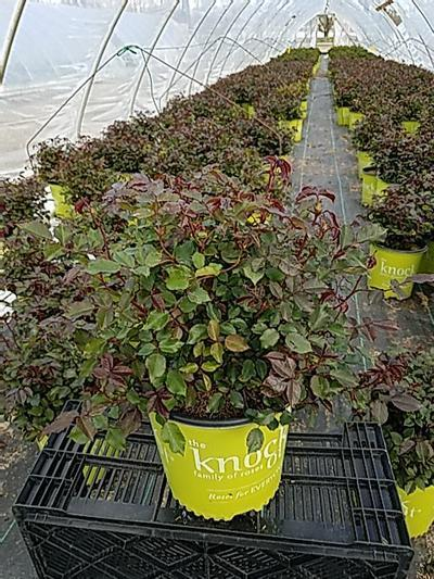 Rosa 'Coral Knock Out®' - 2 Gal. Crop Shot for 2020-17