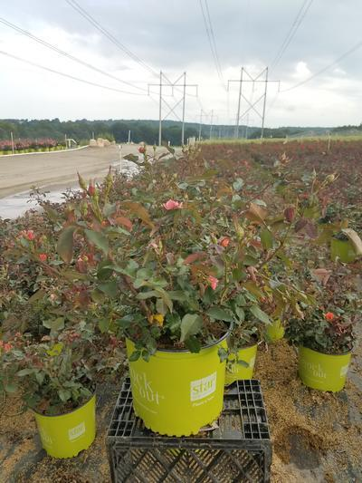 Rosa Coral Knock Out® - 3 Gal. Crop Shot for 2019-27