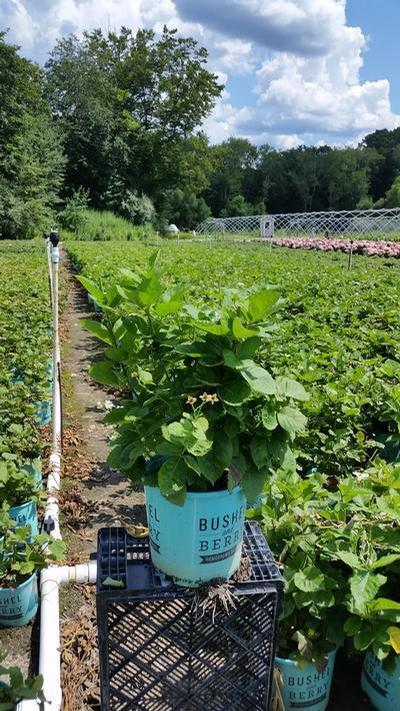 Rubus 'Baby Cakes' - 2 Gal. Crop Shot for 2019-30