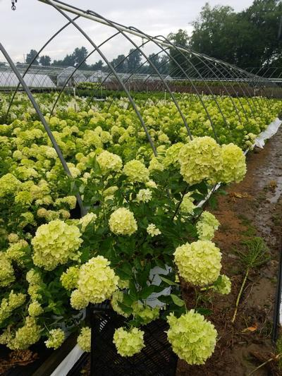 Hydrangea paniculata 'Little Lime®' - 2 Gal. Crop Shot for 2020-30