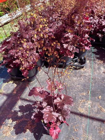 Heuchera villosa 'Black Sea' - 1 Gal. Crop Shot for 2020-23