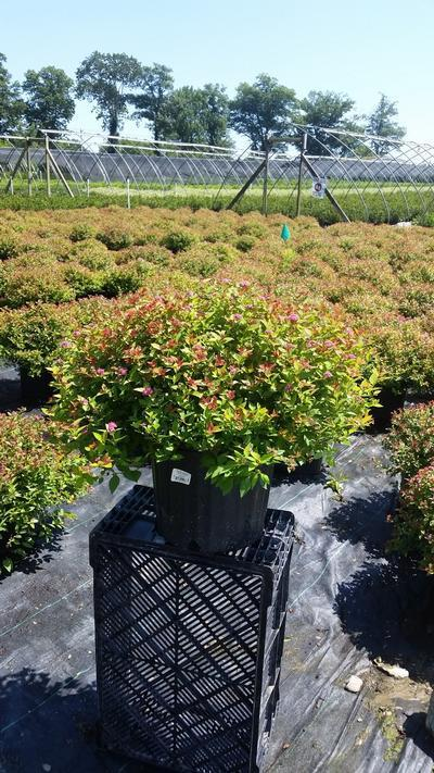 Spiraea japonica 'Magic Carpet' - 3 Gal. Crop Shot for 2019-33