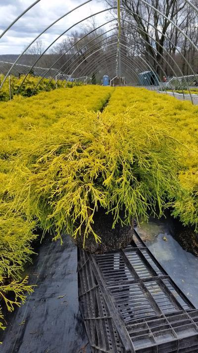 Chamaecyparis pisifera 'Filifera Aurea' - 3 Gal. Crop Shot for 2019-16