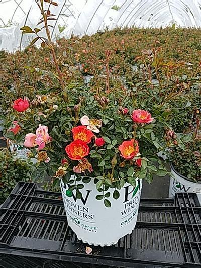 Rosa OSO EASY® 'Oso Easy® Hot Paprika™' - 2 Gal. Crop Shot for 2020-20